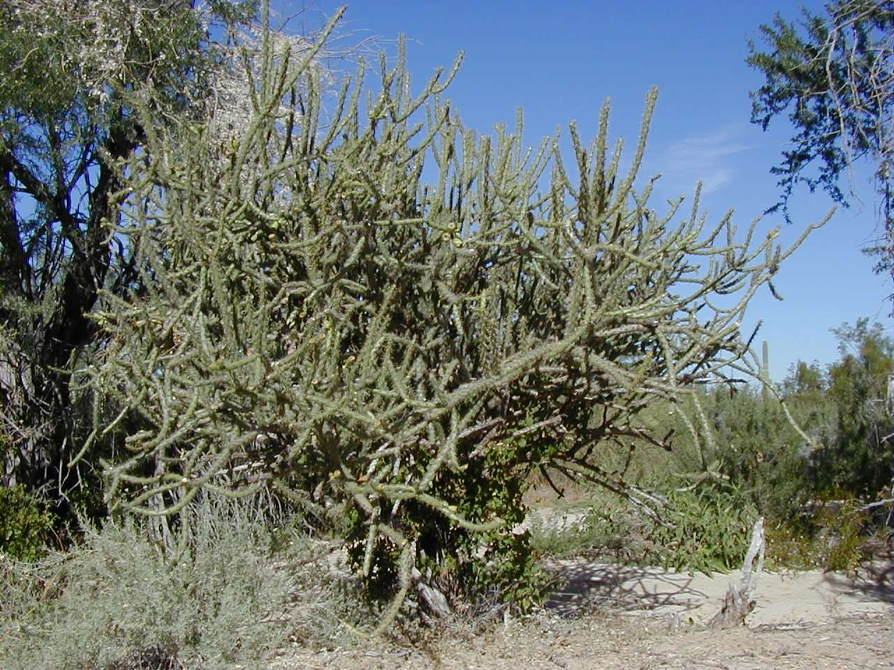 Pitaya stenocereus spp Cactaceae An ancient and